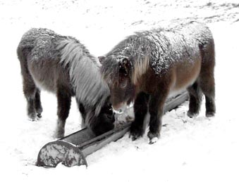 Foals in snow