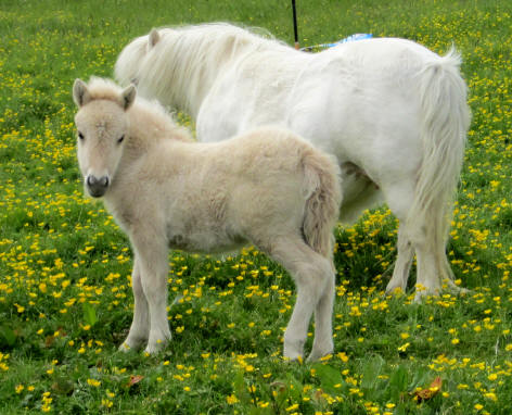 Ricicle with foal 2011
